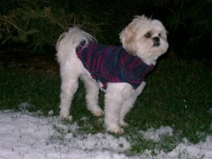 Zoey, standing on a verge of snow, in a purple variegated yarn dog coat