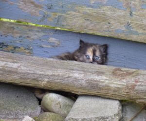A calico kitten cowering behind a board and some rocks at a fence. The kitten's eyes are the same colour of blue as the fence boards.