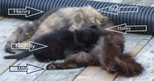 A mother cat laying on a deck with four kittens, two calico, and two black feeding from her